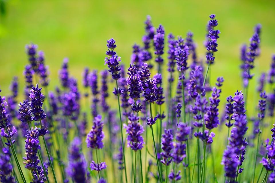 https://pixabay.com/pl/lawenda-kwiaty-purpurowy-1117275/