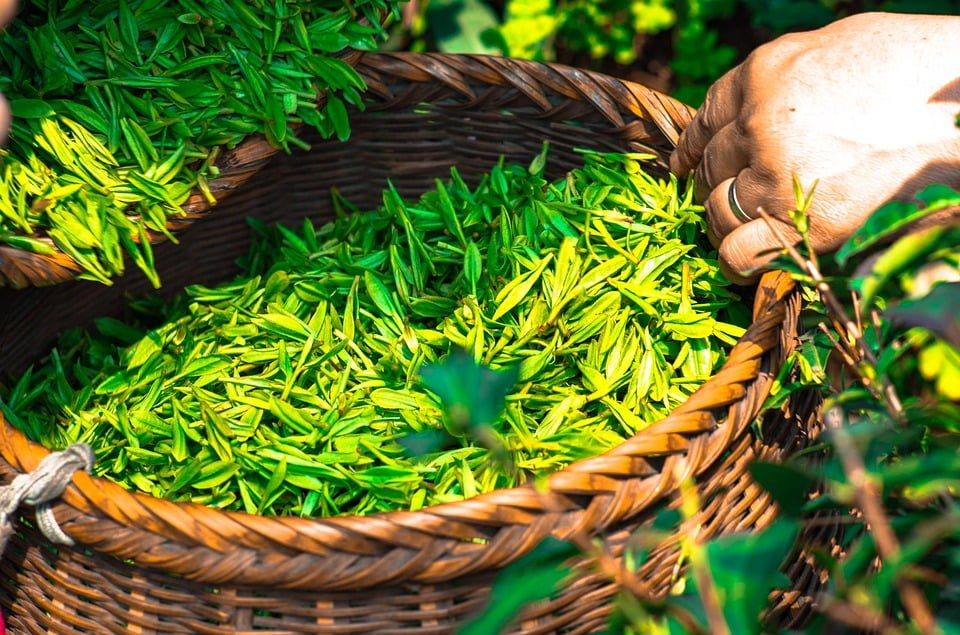 https://pixabay.com/pl/herbata-li%C5%9B%C4%87-chiny-zielony-1309015/